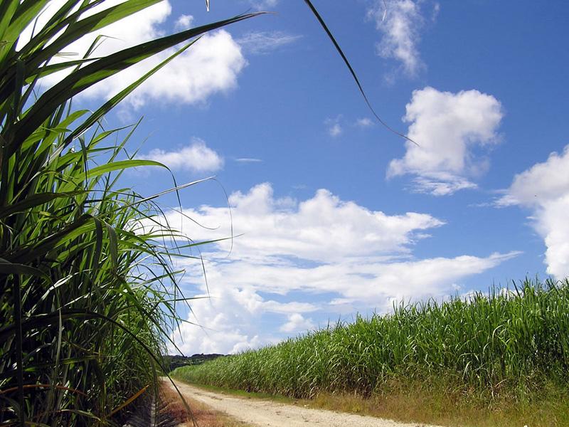 ガッキーの故郷・沖縄県のサトウキビ畑で一緒に記念写真撮りたい芸能人はNo... ガッキーの故郷・